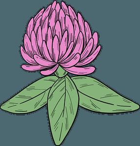 Clover blossom clipart