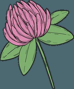 Clover flower clipart