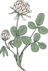 Clover plant clipart