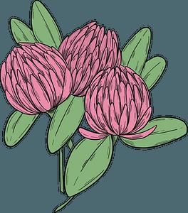 Pink clover clipart