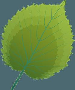 Handkerchief tree summer leaf clipart