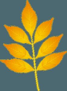 Modesto ash yellow leaf clipart