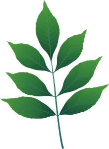 Modesto ash green leaf clipart