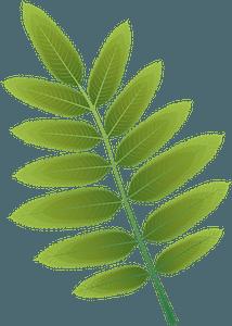 American mountain ash summer leaf clipart