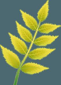 Common ash autumn leaf clipart