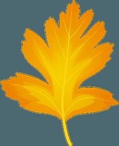 Common hawthorn autumn leaf clipart