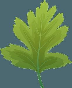Common hawthorn summer leaf clipart