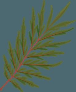 Silky oak autumn leaf clipart