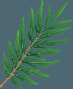 Silky oak spring leaf clipart
