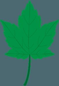 Sycamore leafのクリップアート