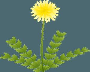 Dandelion flower clipart