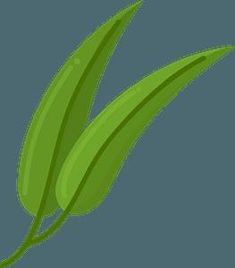 Eucalyptus clipart