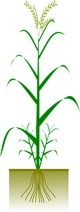 Cereal plant clipart