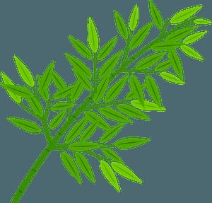 Sasa broad leaf bamboo clipart