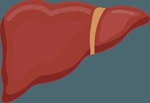 Liver klipart