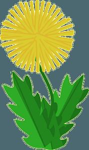 Dandelion clipart