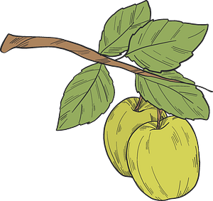 Green apples on a branch clipart