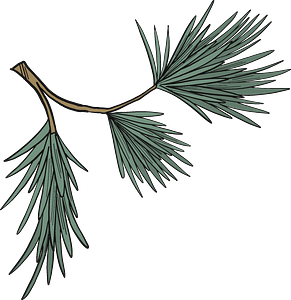 Evergreen tree branch clipart