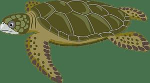 Flatback sea turtle clipart