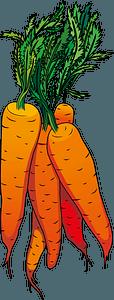 Carrot clipart