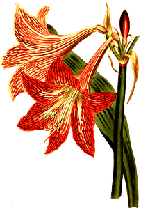 Netted veined amaryllis clipart