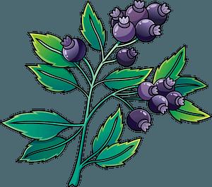 Blueberry 剪贴画