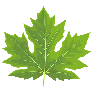 Big leaf Maple Green Leaf clipart