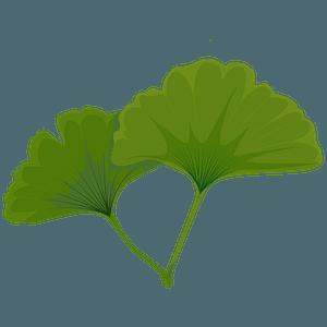 Maidenhair tree green leaf clipart