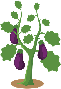 Eggplant hanging ripe on the garden plant clipart
