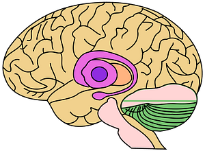 Brain Model clipart