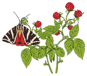 Butterfly on a Raspberry Plant clipart