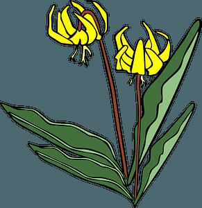 Erythronium Grandiflorum - Glacier Lily clipart