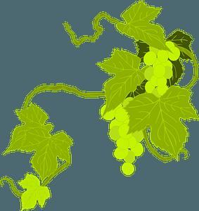 Grapes Illustration clipart