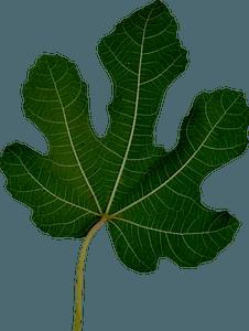 Fig Leaf clipart