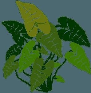 Elephant Ears Plant clipart