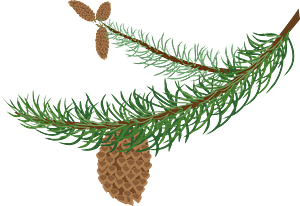 Fir Branch with Cones clipart