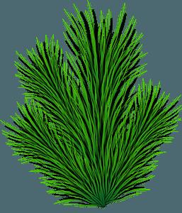 Pine Branch clipart