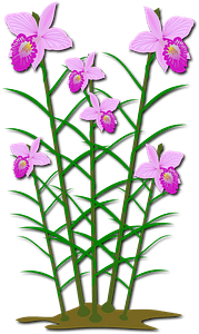 Pink arundina flowers with long stems clipart