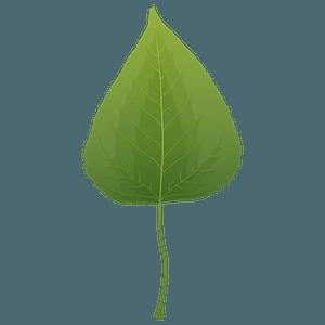 Balsam poplar spring leaf clipart