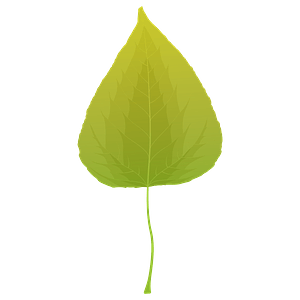 Balsam poplar summer leaf clipart
