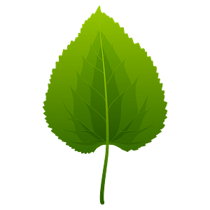 Black mulberry spring leaf clipart