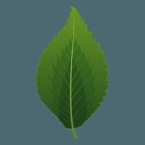 Dutch elm spring leaf clipart