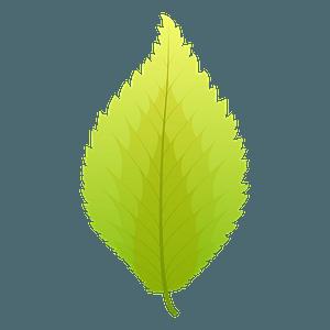 Dutch elm summer leaf clipart