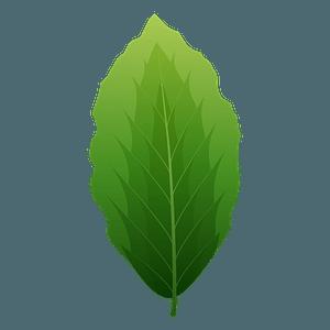 European beech spring leaf clipart