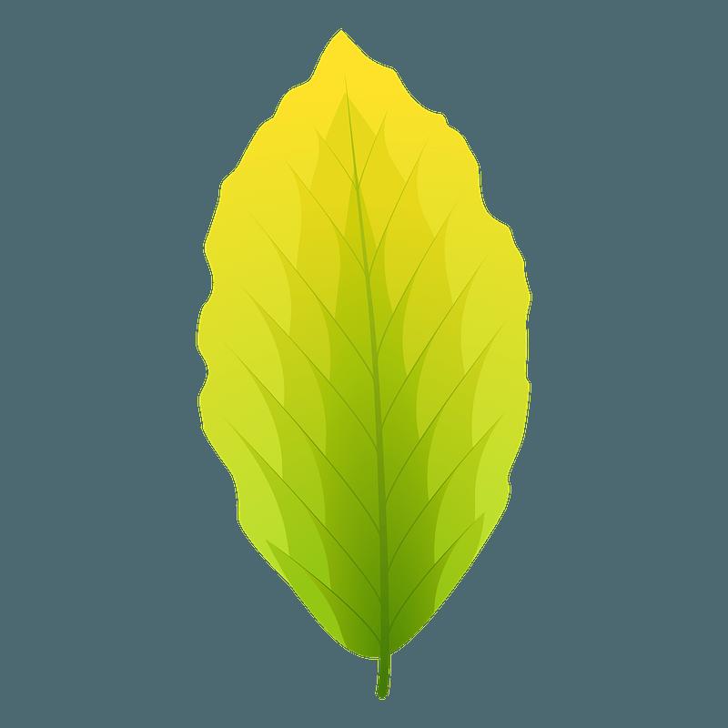 European beech summer leaf clipart