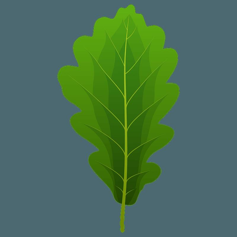 Sessile oak spring leaf clipart