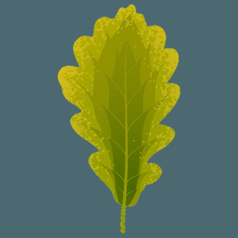 Sessile oak summer leaf clipart