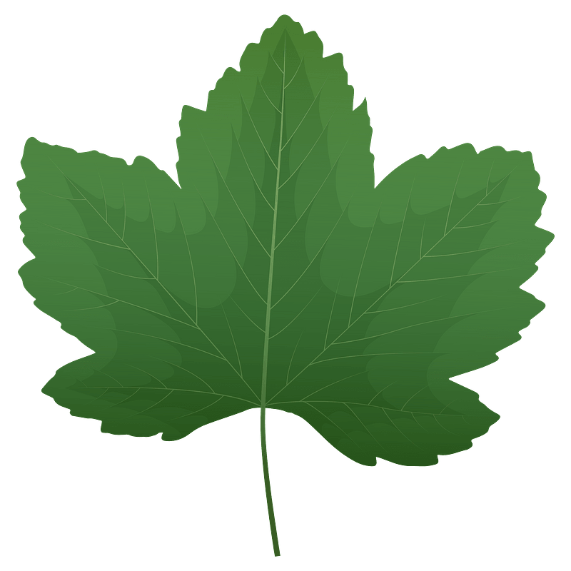 Sycamore maple green leaf clipart