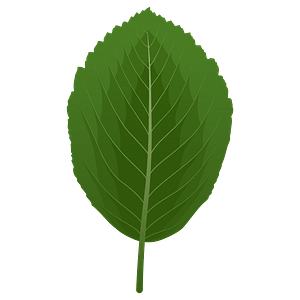 Whitebeam spring leaf clipart