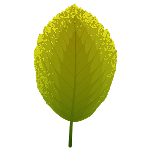 Whitebeam summer leaf clipart